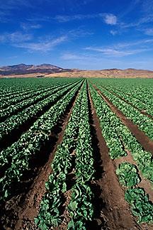5-127-14.lettuce.y